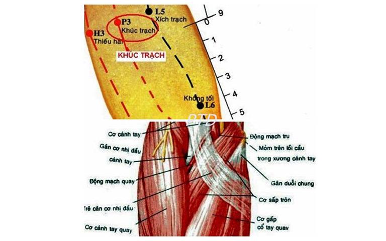 Hình ảnh giải phẫu huyệt Khúc Trạch