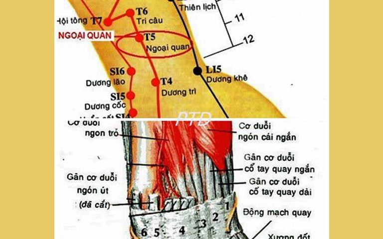 Hình ảnh giải phẫu vùng huyệt Ngoại Quan