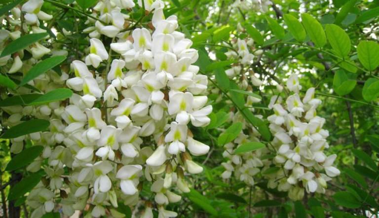 Hoa hòe được sử dụng phổ biến trong bài thuốc trị mất ngủ
