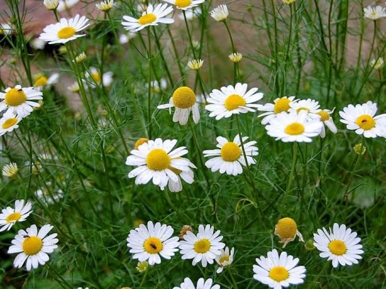 Có thể sử dụng hoa cúc kết hợp với một số thảo dược khác để trị bệnh đau đầu