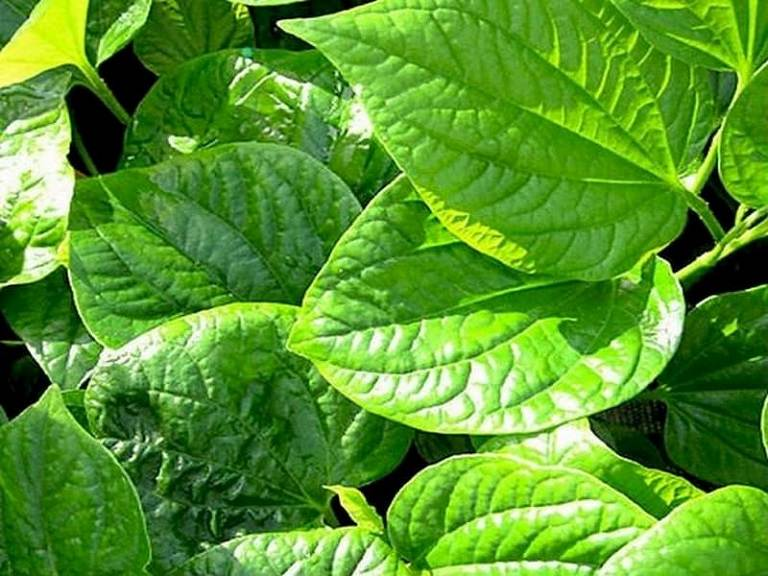 Cách chữa thoái hóa cột sống bằng dân gian từ bài thuốc lá lốt