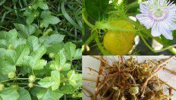 Cây lạc tiên chữa mất ngủ là loài có tên khoa học là Passiflora Foetida