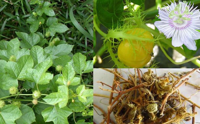 Cây lạc tiên chữa mất ngủ là loài có tên khoa học là Passiflora Foetida L