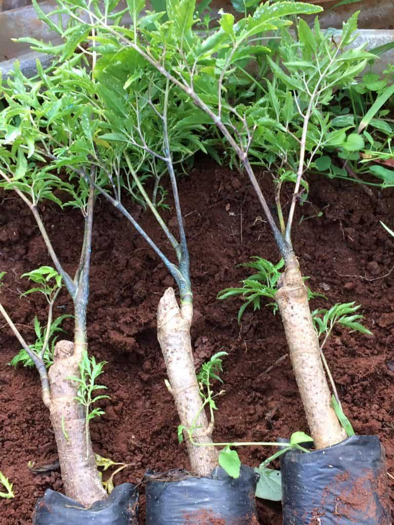 Rễ, thân, lá đinh lăng đều có công dụng chữa bệnh, nhưng lá đinh lăng được sử dụng nhiều nhất