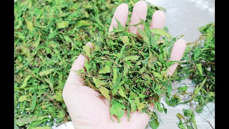 Phơi lá đinh lăng dưới bóng râm đến khi lá khô nhưng vẫn dẻo không bị giòn là đạt yêu cầu