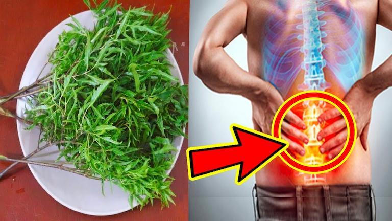 Dùng lá đinh lăng có hiệu quả giảm đau lưng ngay tại nhà